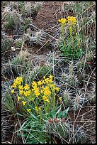 Yellow flowers and cactus. Great Sand Dunes National Park and Preserve ( color)