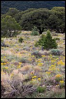 Slope with yellow flowers and pinyon pines. Great Sand Dunes National Park, Colorado, USA. (color)