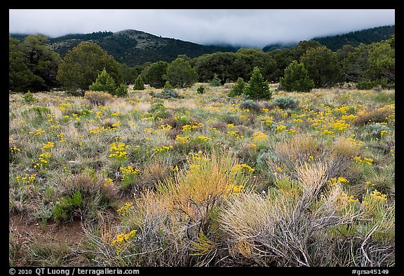 Picture Photo Sagebrush In Bloom And Pinyon Pine Forest