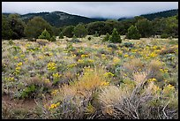 Sagebrush in bloom and pinyon pine forest. Great Sand Dunes National Park, Colorado, USA. (color)