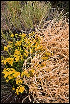 Closeup of shrubs. Great Sand Dunes National Park and Preserve ( color)