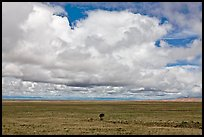 Solitary tree on prairie below cloud. Great Sand Dunes National Park and Preserve ( color)