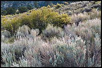 Sage and rabbitbrush. Great Sand Dunes National Park and Preserve ( color)