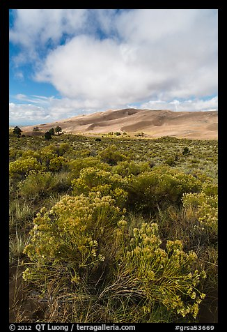 Rubber rabbitbrush. Great Sand Dunes National Park and Preserve (color)