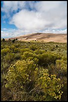 Rubber rabbitbrush. Great Sand Dunes National Park and Preserve ( color)