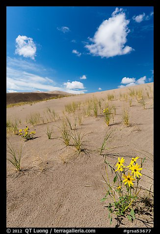 Prairie sunflowers and blowout grasses on dune field. Great Sand Dunes National Park and Preserve (color)