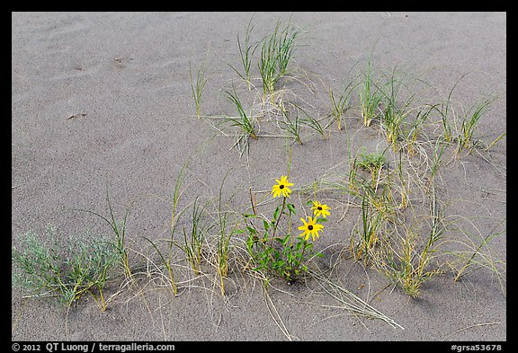 Close-up of Prairie sunflowers and blowout grasses. Great Sand Dunes National Park and Preserve (color)