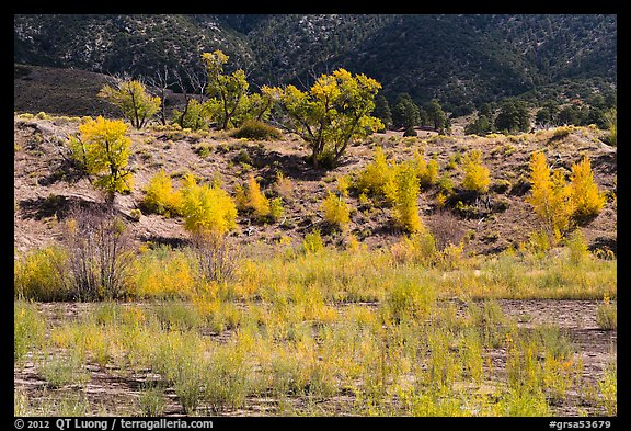 Riparian vegetation in autum foliage, Medano Creek. Great Sand Dunes National Park and Preserve (color)