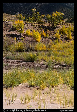 Shrubs and cottonwoods in autum foliage, Medano Creek. Great Sand Dunes National Park and Preserve (color)