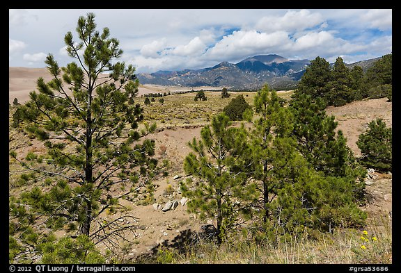 Pinyon pines. Great Sand Dunes National Park and Preserve (color)