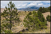 Pinyon pines. Great Sand Dunes National Park and Preserve ( color)