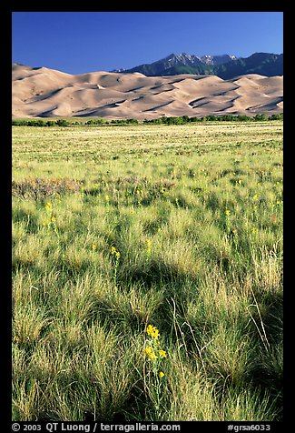 Grass and dunes, morning. Great Sand Dunes National Park and Preserve, Colorado, USA.