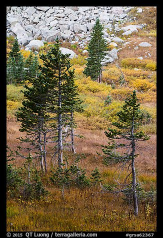Fir trees, srubs in autumn color, and rocks. Great Sand Dunes National Park and Preserve (color)