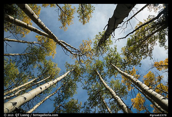 Looking up aspen. Great Sand Dunes National Park and Preserve (color)