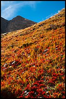 Berry plants in red autumn foliage and peak. Great Sand Dunes National Park and Preserve ( color)