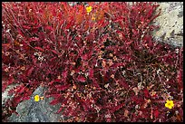 Close-up of alpine plants in autumn. Great Sand Dunes National Park and Preserve ( color)