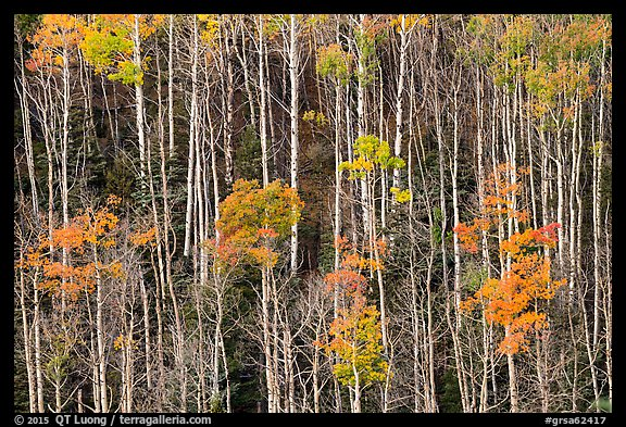Hillside with trunks of aspen in autum. Great Sand Dunes National Park and Preserve (color)