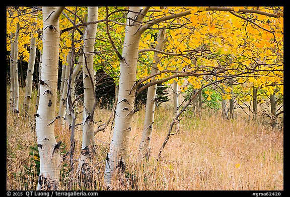 Aspen trees at edge of prairie in autumn. Great Sand Dunes National Park and Preserve (color)