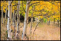 Aspen trees at edge of prairie in autumn. Great Sand Dunes National Park and Preserve ( color)