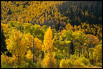 Hillside covered with trees in colorful autumn foliage. Great Sand Dunes National Park and Preserve ( color)