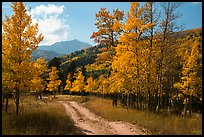 Medano primitive road surrounded by trees in autumn color. Great Sand Dunes National Park and Preserve ( color)