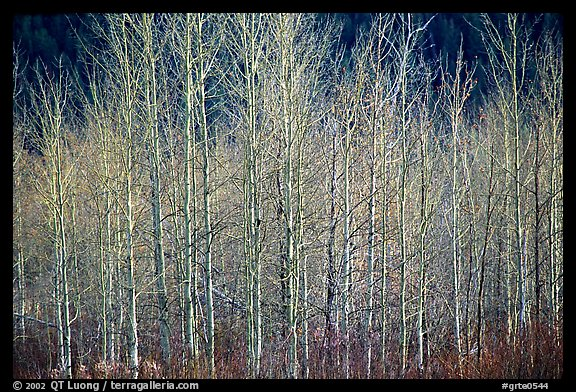 Bare trees. Grand Teton National Park (color)