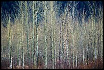 Bare trees. Grand Teton National Park ( color)