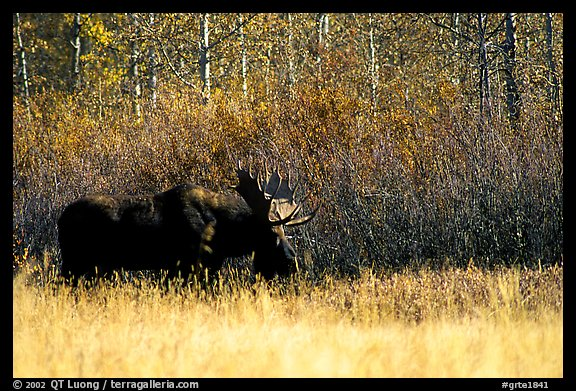 Bull moose out of forest in autumn. Grand Teton National Park (color)