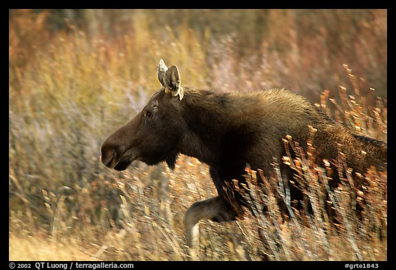 Cow moose running. Grand Teton National Park (color)