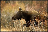 Cow moose running. Grand Teton National Park ( color)