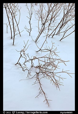 Bare shrub branches and snow. Grand Teton National Park (color)