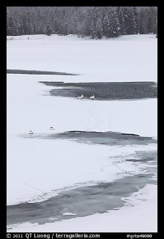 Trumpeter swans in partly thawed river. Grand Teton National Park, Wyoming, USA.