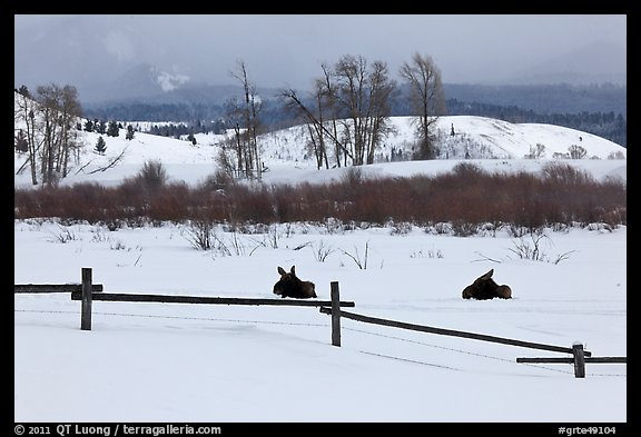 Fence and moose in winter. Grand Teton National Park (color)