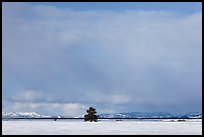 Lone tree and distant mountains in winter. Grand Teton National Park ( color)