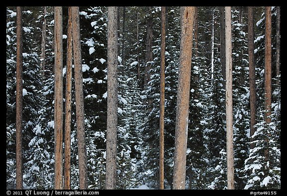 Pine tree trunks and snowy forest. Grand Teton National Park (color)