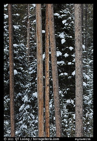 Trunks and evergreen in winter. Grand Teton National Park (color)