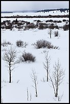 Bare trees and shurbs, frozen Jackson Lake. Grand Teton National Park ( color)