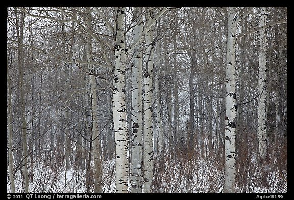 Aspen forest in winter. Grand Teton National Park (color)