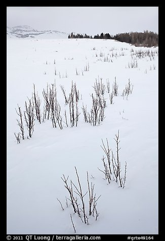 Shrubs in white landscape. Grand Teton National Park (color)