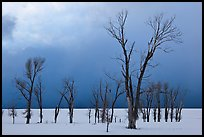 Bare Cottonwoods and dark sky in winter. Grand Teton National Park ( color)
