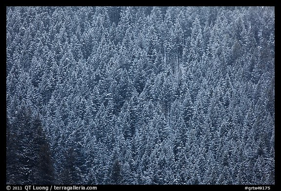 Hillside with frozen conifers. Grand Teton National Park (color)