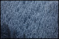 Hillside with frozen conifers. Grand Teton National Park ( color)