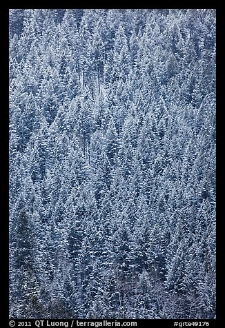 Dense snowy conifer forest. Grand Teton National Park (color)