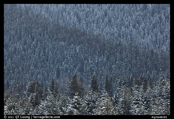 Snowy forest on mountainside. Grand Teton National Park (color)