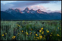 Wildflowers and Tetons at sunrise, Antelope Flats. Grand Teton National Park ( color)