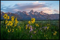 Arrowleaf Balsam Root and Tetons at sunrise from Antelope Flats. Grand Teton National Park ( color)