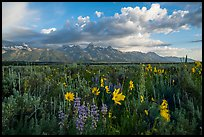Lush wildflowers and Tetons from Antelope Flats. Grand Teton National Park ( color)