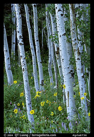 Sunflowers, lupines and aspen forest. Grand Teton National Park (color)