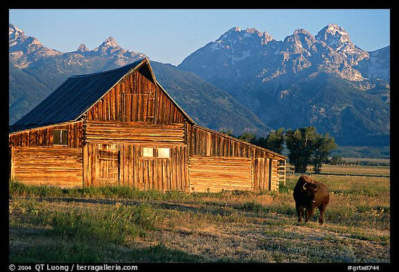 Bison in front of barn, with Grand Teton in the background, sunrise. Grand Teton National Park (color)
