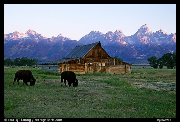 Bisons in front of barn below Teton range. Grand Teton National Park (color)
